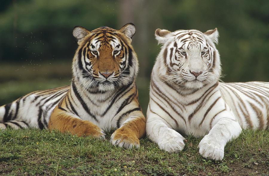 2-bengal-tiger.jpg
